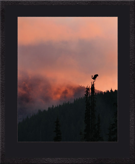 Crane in Tree Cascade Mountains Oregon.