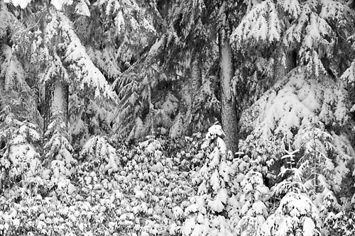 Black and White Photograph Winter Scene Forest Trees Fir, Oregon