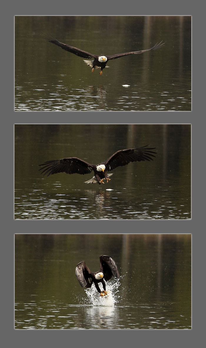 Eagle catching a fish, Cascade Lakes Oregon Photographer David Whitten