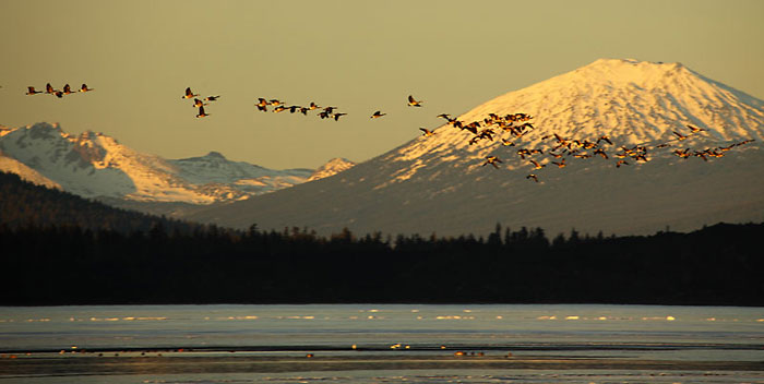 Geese, Mt. Bachelor, Cascade Mountains, Oregon.