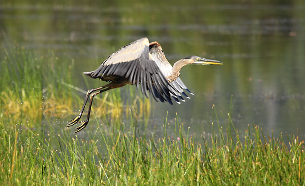 Heron, Crane Prairie Lake, Cascade Mountains, Oregon.