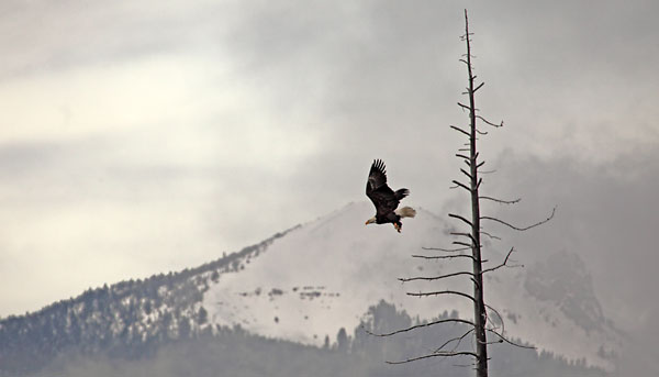 Bald Eagle in flight photograph Photography by David Whitten.