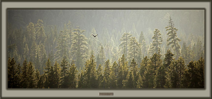 Osprey flying over forest picture, Oregon Cascade Mountains