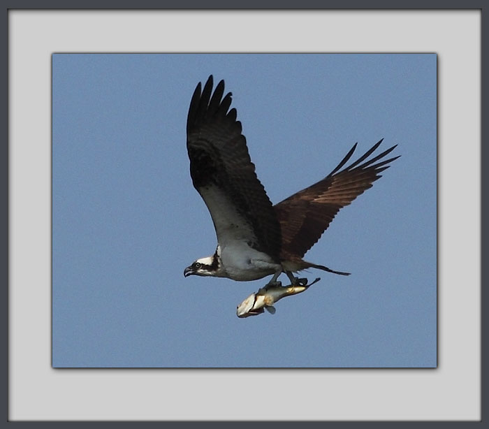 Osprey with fish, Crane Prairie Lake.