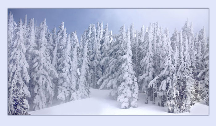 Snow Covered Douglas Fir Forest, Cascade Mountains, Oregon.