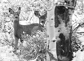 Mule Deer Fawns Black and White Photograph