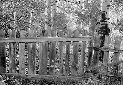 Aspen Trees and Fence Park City Utah Black and White Photograph