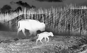 Black and White Photograph negative Ghost Buffalo Yellowstone National Park Wyoming