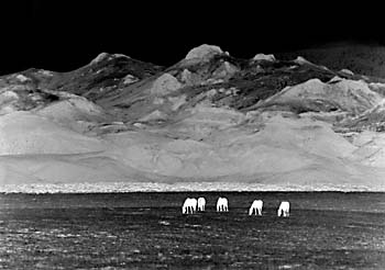 Five Horses Black and White Photography