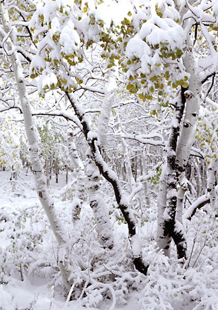 First Snow Aspen Trees photograph by David Whitten