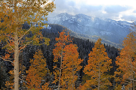 Autumn Aspen Trees, Big Cottonwood Canyon, Wasatch Mountains photography, Utah