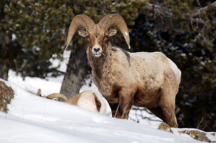 Bighorn Sheep Ram Gros Ventre Mountains Wyoming