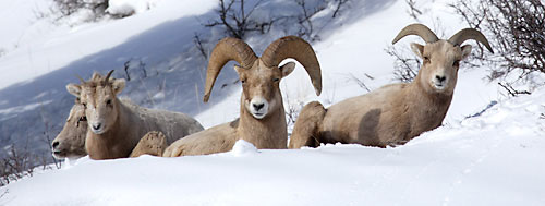 Bighorn Sheep Gros Ventre Mountains Wyoming