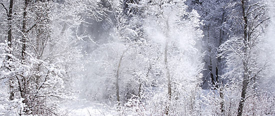 Cottonwood Snow Dance Cottonwood Trees Provo Canyon Utah photo by David Whitten
