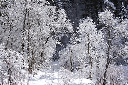 Winter Cottonwood Trees photograph by David Whitten Provo Canyon Utah