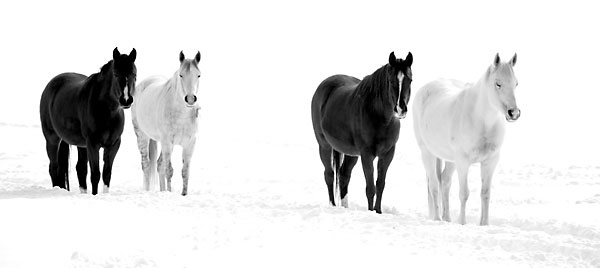 Four Black and White Horses in Snow Black and White Photograph