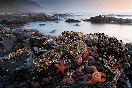 Starfish Barnacles and Mussels Oregon Coast Toketee beach