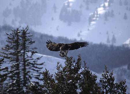 Bald Eagle Wasatch Mountains Utah