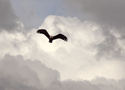 Bald eagle in flight with clouds and sky