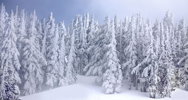 Winter Forest, Douglas Fir, Cascade Mountains Oregon Snowy Trees Photograph Photography Panorama Panoramic Photograph