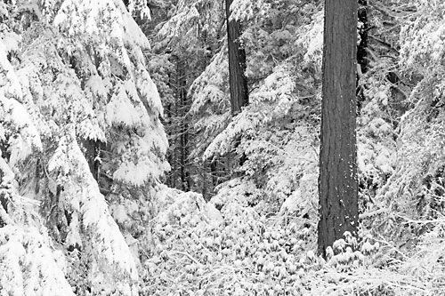 Snow Covered Forest, Oregon Black and White Photograph