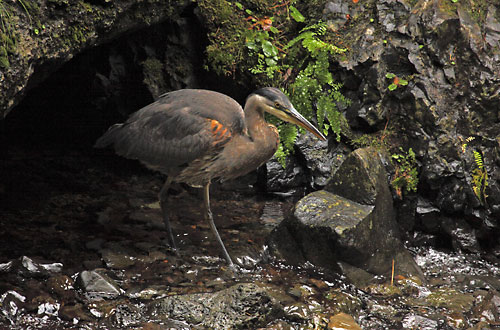 Heron Photographer David Whitten Wildlife