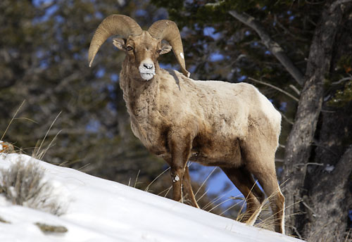 Bighorn Sheep Ram Gros Ventre Mountains Wyoming Wildlife Photographer David Whitten