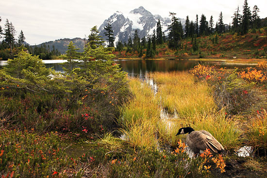 Canada Goose, Mt. Shuksan, North Cascades National Park, Washington photographer David Whitten Photography