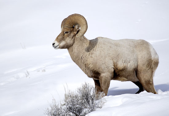 Bighorn Sheep in snow photo, Gros Ventre Mountains, Teton National Forest, Wyoming photograph, photographer David Whitten Photography