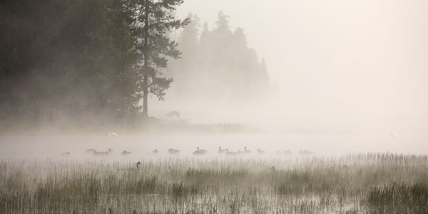 Foggy Scene, Geese and Pelicans at Crane Prairie Lake, Oregon photograph, photographer David Whitten Photography