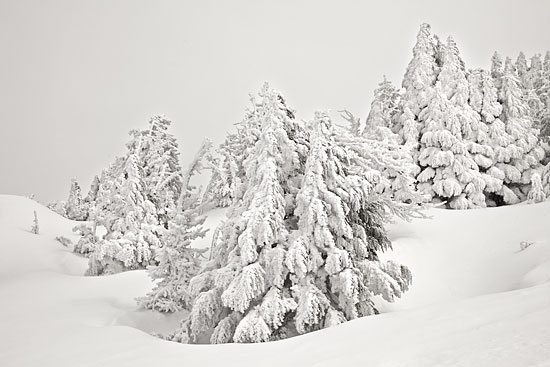 Snow Scene Winter Forest, Cascade Mountains, Utah