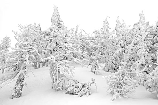 Krummholtz Photograph Winter Forest near treeline by David Whitten Photography