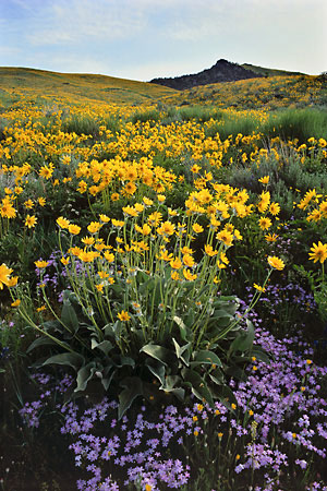 Wildflowers photography Balsamroot and Phlox Caribou National Forest Idaho