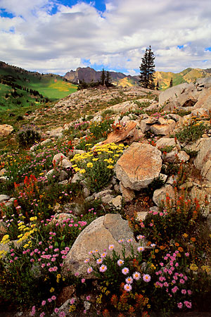 Photographer David Whitten Wildflowers Albion Basin Alta Wasatch Mountains Utah