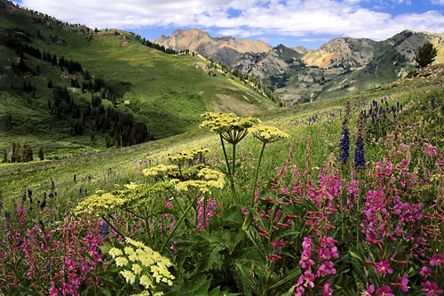 Wildflowers Alta Albion Basin  Wasatch Mountains Utah photography