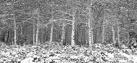 Black and White photograph Aspen Trees In Snow Wasatch Mountains Utah