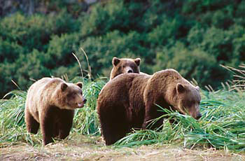 Grizzly Bear Katmai National Park Alaska