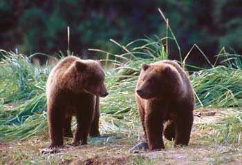 Alaska Brown Bears Grizzly Bear Cubs Katmai National Park Alaska