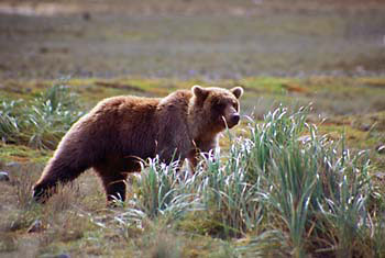 Alaskan Brown Bear Grizzly Bear Katmai Alaska