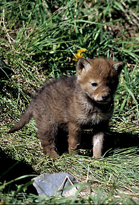 Wolf Pup Grand Teton National Park, Wyoming