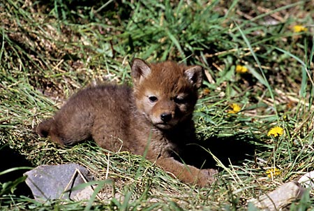 Wolf Pup Grand Teton National Park Wyoming