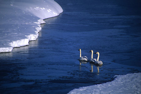 Tundra Swans Grand Teton National Park Wyoming