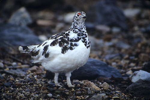 White-tailed Ptarmigan photograph - David Whitten Photography