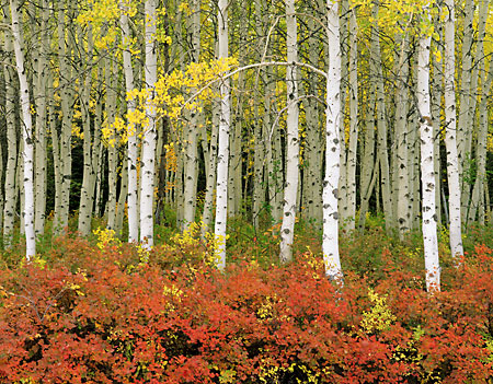 Autumn Aspen Trees photo Fall Foliage Wasatch Mountains, Utah