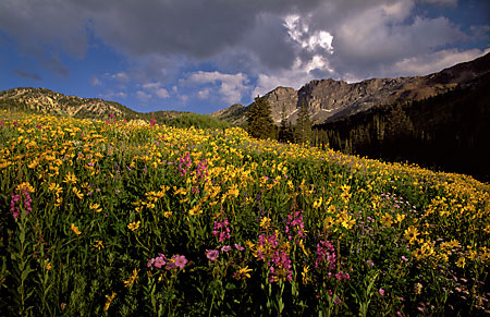 Wildflowers and Devil's Castle Alta Albion Basin Wasatch Mountains photo Utah