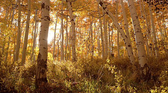 Fall Foliage photos Aspen Trees Autumn Wasatch Mountains, Park City Utah photography