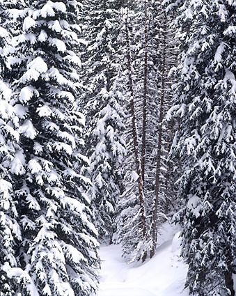 Winter Forest Wasatch Mountains Utah David Whitten Photography
