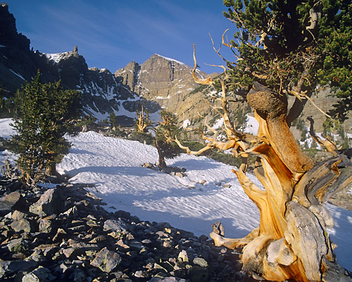 Landscape photography - Bristlecone Pines, Wheeler Peak, Great Basin National Park, Nevada - photo by David Whitten