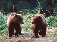 Alaska grizzly bears photographs katmai photographer David Whitten