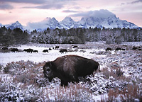buffalo bison photographs by photographer David Whitten
